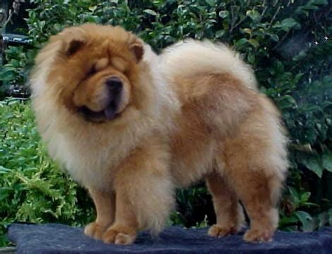 yankee doodle puppies for sale chow