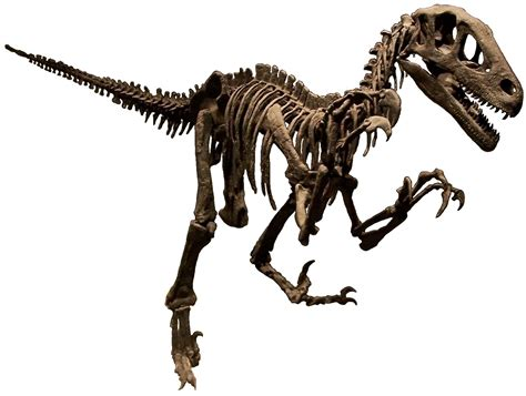 file utahraptor skeleton namal white background jpg