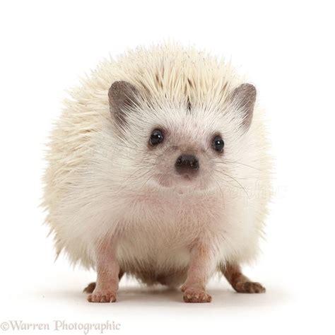 bath time for 9 week pygmy hedgehogs best 25 pygmy hedgehog ideas on hedgehog pet