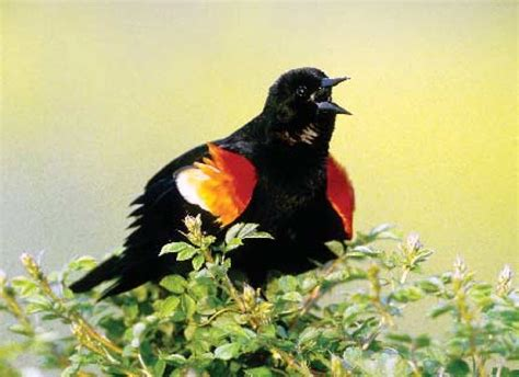 wild birds unlimited red winged blackbird facts