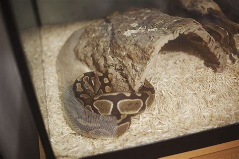 How To Help Snake Shed by How Do Pythons Take To Shed Pet Python