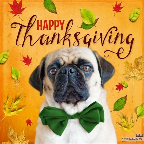 happy thanksgiving pug 17 best images about thanksgiving on thanksgiving thanksgiving greetings