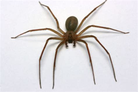 violin pattern on brown recluse physicians seeing increase in brown recluse spider bites
