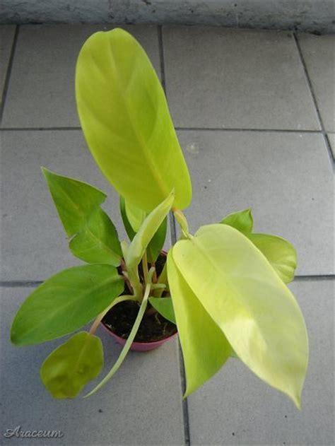 Tanaman Hias Philo Lemon Philodendron Lemon philodendron lemon lime