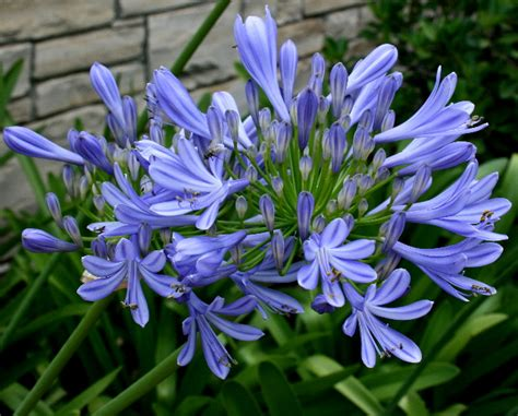 dwarf agapanthus lily of the nile photo missy gardenwhimsy photos at pbase com
