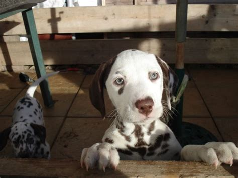 dalmatian puppies for sale in florida 25 best ideas about dalmatian puppies for sale on dalmatians for sale