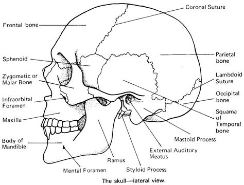 human skull coloring page labeling the skull coloring pages