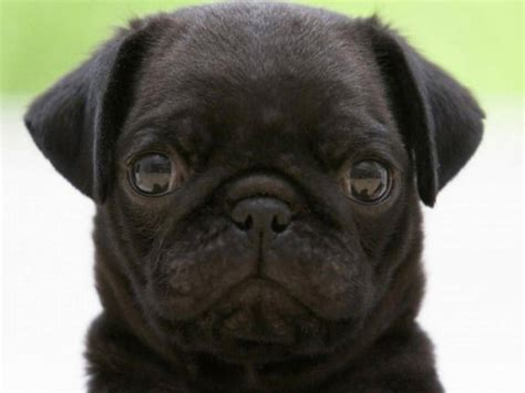 photos of black pugs 45 pug collection golfian