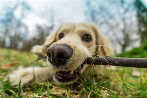 can dogs eat sticks is it ok for dogs to chew on sticks nation