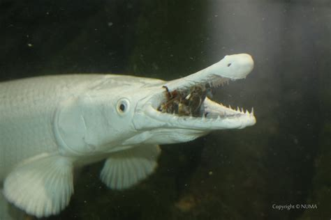 Aligator Spatula Platinum alligator gar pictorial the world of animals