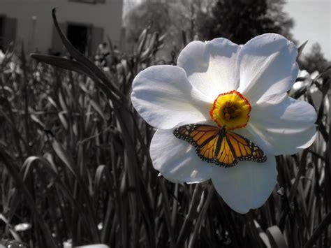 fiori bianco e nero ste artistiche quadri e poster con bianco e nero