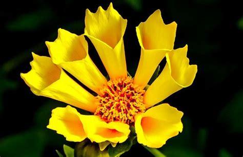 fiore giallo nomi fiori gialli idee green
