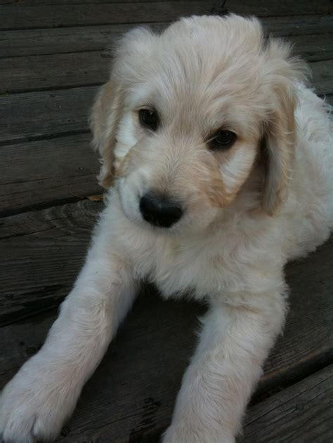 goldendoodle puppy week by week 58 best images about dogs on adoption poodles