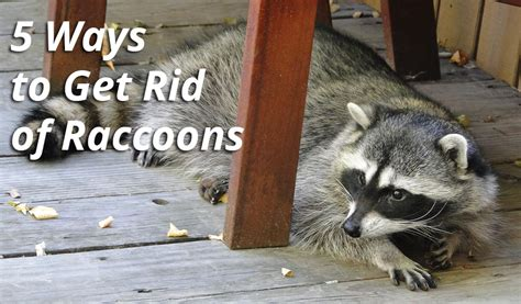 how to get rid of a raccoon in your backyard 5 ways to get rid of raccoons atlanta wildlife control