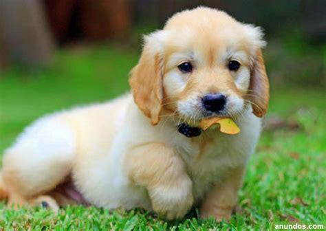 golden retriever pedigree precio regalo cachorros de golden retriever con pedigree loe catral