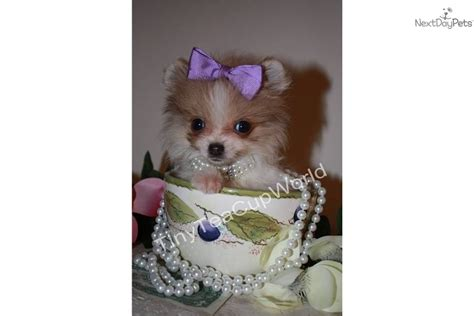 7 lb pomeranian breed that grown weighs 5 lbs breeds picture