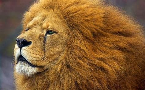 imagenes de guerreros en leones leones en peligro de extinci 211 n y video con kevin