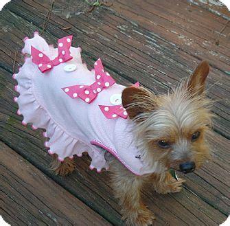 yorkies for adoption in ga tsula adopted suwanee ga yorkie terrier