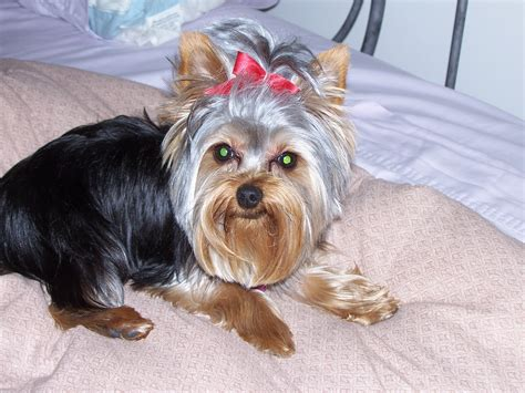 original yorkshire terrier file yorkshire terrier in bed jpg wikimedia commons