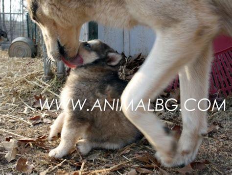 kuche laika продавам кучета лайка софия цена 299 00 лв вълк