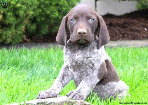 german shorthaired pointer puppies price gandolph german shorthaired pointer puppy for sale in pennsylvania