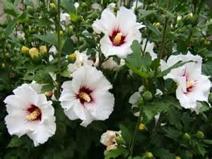 hibiscus de syrie hibiscus syriacus taille bouturage