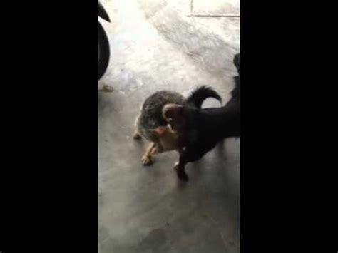 anjing kawin dogs mating clip hay anjing kawin hingga lepas xbvs7fhyuxo