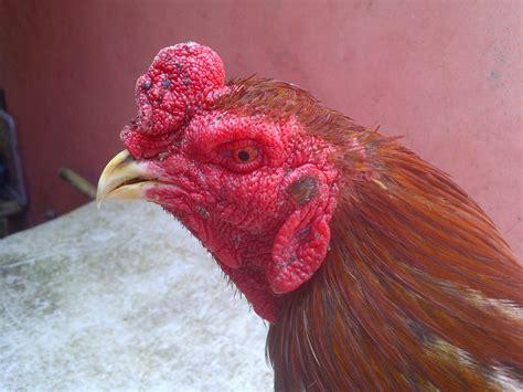 globe ayam jago bangkok siap tarung