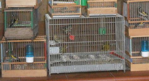 cardellini in gabbia tenevano 15 cardellini in gabbia tre denunce nel