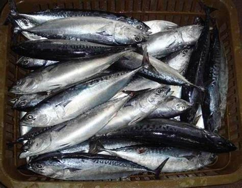 Tuna Fish Frozen frozen tuna fish exporters exporters from new delhi