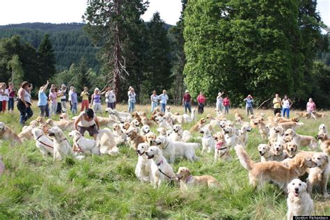 largest golden retriever on record golden retriever festival in scotland looks like the cutest photos huffpost