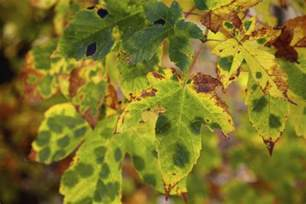 fungi plant diseases a brief list of plant diseases caused by fungi