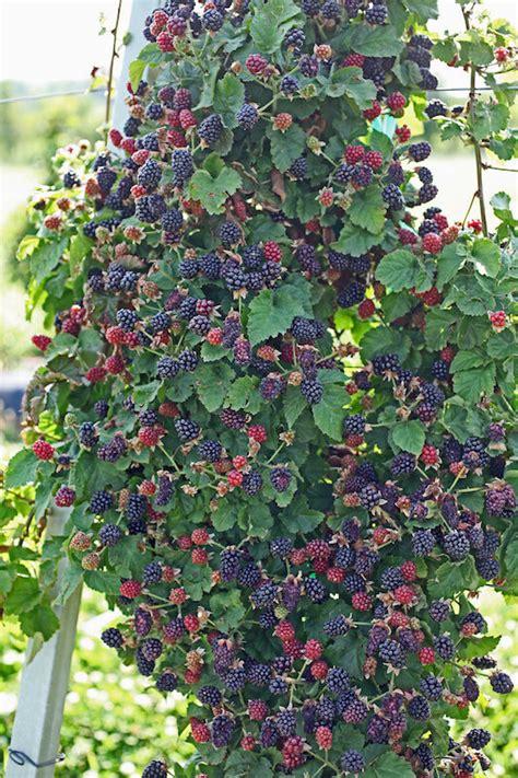 Growing Blackberries ? Nifty Homestead