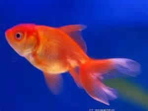 le poisson rouge ou cyprin doré est un poisson d?eau douce de la