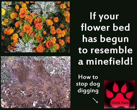 how to keep dogs from digging in flower beds 25 best ideas about dog alem 227 o gigante auf pinterest
