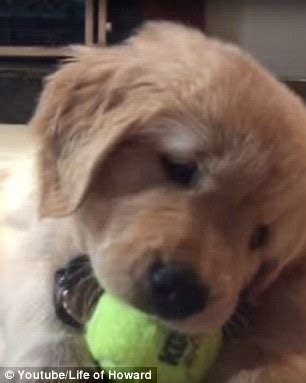 Its Out There For A Pup From The You Are A Photo Pool by Shows Puppy Can T Get Tennis Out Of Its
