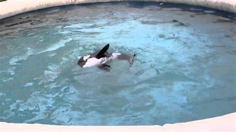 robot killer whale robot fish 12 orca