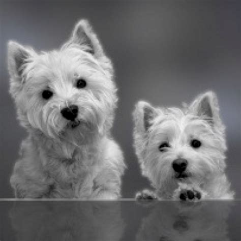 Do West Highland Terriers Shed by 17 Best Images About Pups On