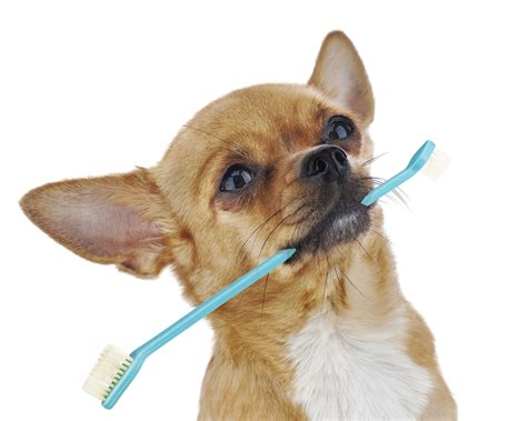 dental care for dogs small dental care tips nation