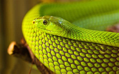 wallpaper green snake green snake wallpaper 624284