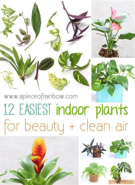 indoor plants to clean air all about fiddle leaf fig care tips and easy propagation