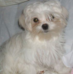 southern comfort maltese rescue southern comfort maltese rescue special needs babies