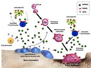 An emerging potential therapy for bone health denosumab