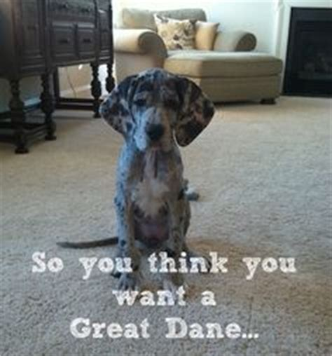 25 best ideas about blue great danes on great