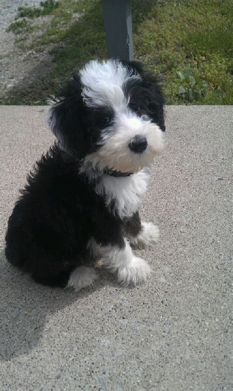 sheep puppies sheep poodle sheepadoodle sheep dogs poodle and