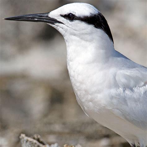 why we love birds   birds   black naped tern (sterna
