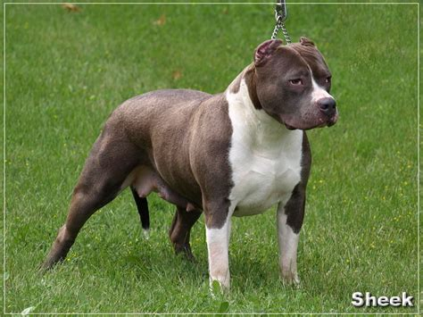 breed blue nose pitbull puppies for sale pitbull kennel blue puppies for sale breeds picture