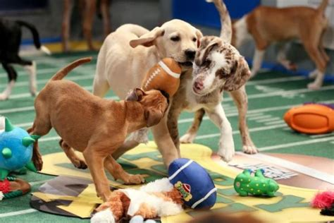 puppy bowl live quot puppy bowl quot comes to sf funcheapsf
