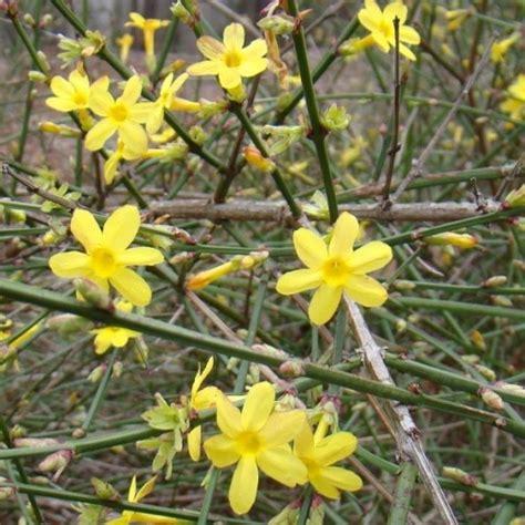 gelsomino vaso jasminum nudiflorum gelsomino d inverno vaso 216 18cm