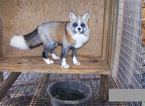 Pet Cross Fox Pendek cross fox pet
